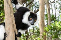 Lemur ruffed noir et blanc Images libres de droits
