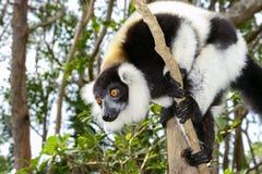 Lemur ruffed noir et blanc Photo stock