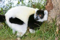 Lemur ruffed noir et blanc Photos stock