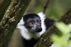 Lemur ruffed noir et blanc Photographie stock