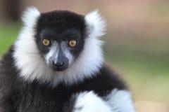Lemur ruffed noir et blanc Images stock