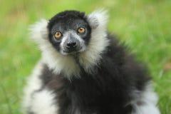 Lemur ruffed preto e branco Imagens de Stock