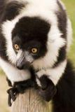 Lemur ruffed preto e branco no captiveiro Imagens de Stock