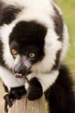 Lemur ruffed preto e branco no captiveiro Foto de Stock