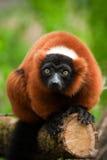 Lemur ruffed rosso Fotografia Stock Libera da Diritti