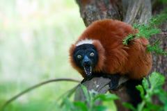 Lemur ruffed rosso Immagine Stock Libera da Diritti