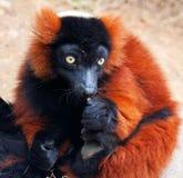 Lemur ruffed rosso (rubra di Varecia) Immagine Stock