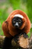 Lemur ruffed rouge Photo libre de droits