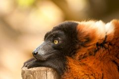 Lemur ruffed rouge Photographie stock