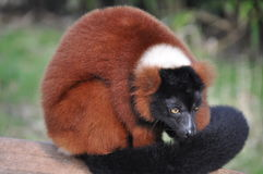 Lemur ruffed rouge Image stock