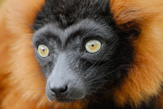 Lemur ruffed rouge Images stock
