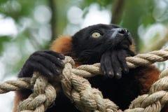 Lemur ruffed vermelho Imagem de Stock Royalty Free