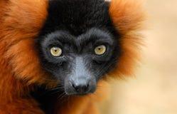 Lemur ruffed vermelho Fotografia de Stock