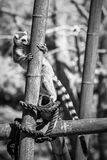 A lemur's climb Royalty Free Stock Images