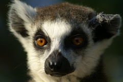 Lemur's portret. Pensive look, lemur's head and face Royalty Free Stock Image