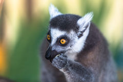 Lemur with selective focus. And bokeh Royalty Free Stock Photo