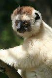 Lemur selvaggio di sifaka, Madagascar immagine stock