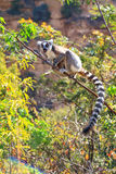 Lemur shout. Ring-tailed Lemur (Lemur catta) with baby in Isalo national park in Madagascar Royalty Free Stock Image
