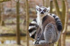 Lemur siedzi przy drzewnym bagażnikiem Zdjęcia Royalty Free