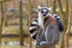Lemur siedzi przy drzewnym bagażnikiem Fotografia Stock