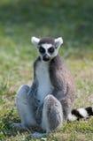 Lemur siedział puszek na trawie Obrazy Royalty Free