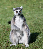 Lemur siedział puszek na trawie Zdjęcie Royalty Free
