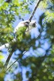 Lemur Sifaka Royalty Free Stock Image