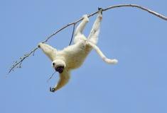 Lemur Sifaka Zdjęcie Royalty Free