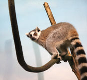 Lemur Royalty Free Stock Image