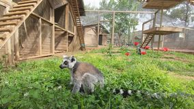 Lemur sits in the green grass, looks around and picks the ground.  stock video footage