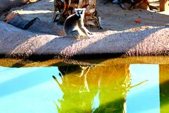 Lemur sitting as sunsetting. A lemur sitting by waters edge as the sun is setting Stock Photos