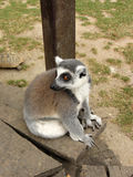 Lemur sitting on a bench Stock Images