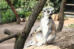 Lemur sitting on trunk Royalty Free Stock Photography