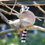 Lemur sitting on the branches Stock Photo