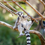 Lemur sitting on the branches Royalty Free Stock Photos