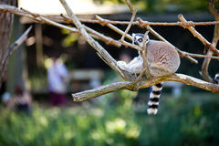 Lemur sitting on the branches Royalty Free Stock Photography