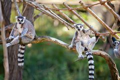 Lemur sitting on the branches Royalty Free Stock Photo