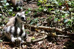 Lemur sitting. Close up of a black and white lemur monkey from Madagascar, Africa Stock Photography