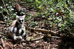 Lemur sitting. Close up of a black and white lemur monkey from Madagascar, Africa Stock Photos