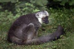 Lemur sitting on grass Stock Photography
