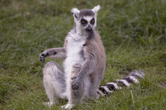 A lemur sitting in grass land Stock Image