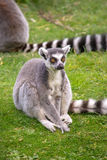 Lemur sitting in the grass Stock Photography