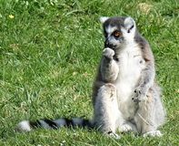 Lemur sitting in the grass Stock Photos
