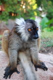 Lemur sitting. On its tail Royalty Free Stock Photography