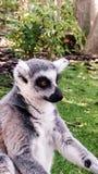 Lemur. A lemur sitting and posing Royalty Free Stock Photography