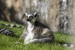 Lemur. Stock Photography