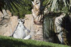 Lemur. Royalty Free Stock Photos