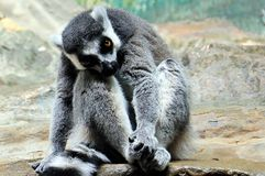 Lemur sitting on rock Stock Images