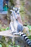 Lemur catta climbing and trying to catch something from the tree, at the zoological park. Lemur sitting on a rock and having fun with branches, looking for stock image
