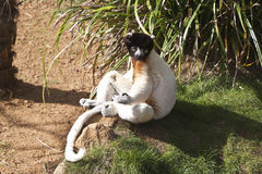 Lemur sitting in the sun Stock Photos
